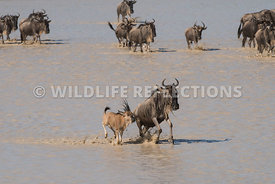 wildebeest_lake_crossing_sequence_02242015-86