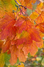 Norway Maple colors