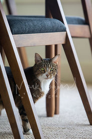 Tabby Cat with White Patch Standing Under Chair