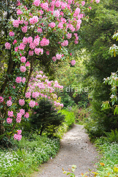 Path framed by a large pink flowered Rhododendron 'Rosy Bell', with wild garlic and ferns carpeting the ground below.