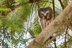September - Northern Saw-whet Owl