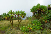Lobelias on the slopes of Mount Bisoke, Volcanoes National Park, Rwanda