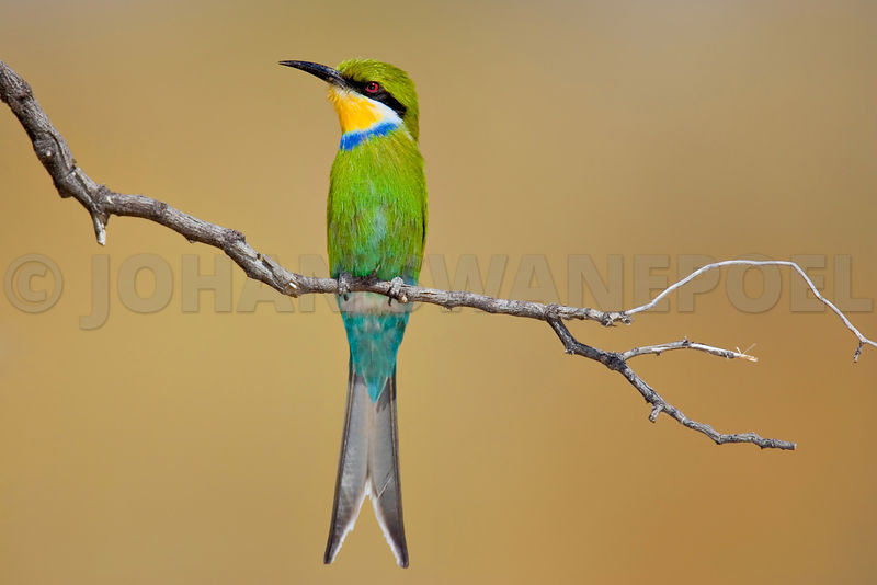 Swallow-tailed bee-eater perched on a dry branch
