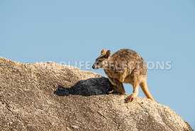 rock_wallaby_mareeba_rock_top_hop-2