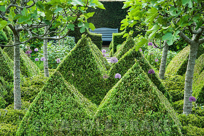 The kitchen garden is dominated by four standard fig trees surrounded by clipped box pyramids interspersed with Buxus microphylla var. japonica 'Morris Midget' and purple alliums. Tony Ridler's Garden, Cockett, Swansea, UK