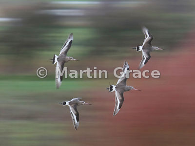 Fast flight of four Black-Tailed Godwit (Limosa limosa) with background blurred, Dumfries & Galloway, Scotland