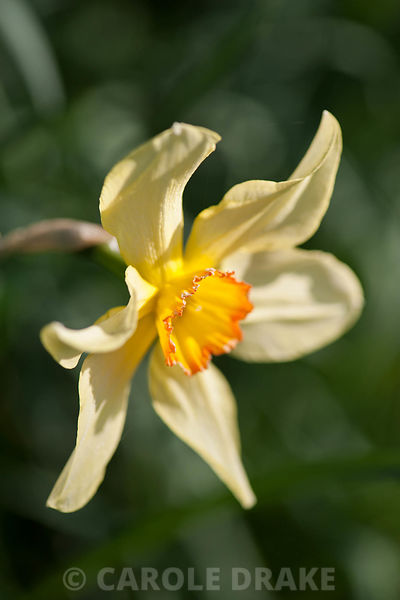 Narcissus 'Barrii Conspicuus', dating from 1869. Cotehele, Cornwall, UK
