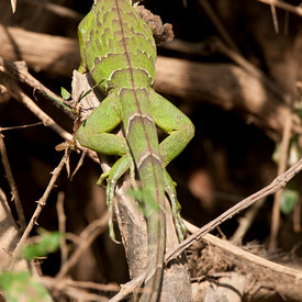 Iguana wildlife photos