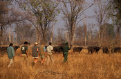 Walking safari, tourists approaching buffalo, South Luangwa National Park, Zambia