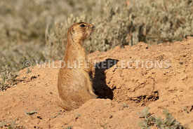 utahprairiedog_female_at_burrow
