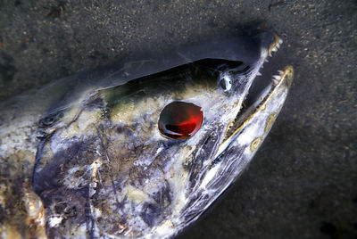 Close-up of a spawned salmon with its eye eaten and the socket full of blood. Saloompt River, Great Bear Rainforest, British ...