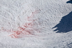 Watermelon Snow on Glacier in Goat Rocks Wilderness