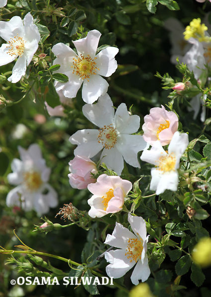 The Wildflowers of Palestine -  Rosa Canina