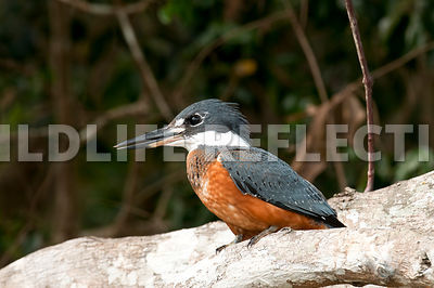 green_kingfisher_log-01_1