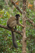 Common brown lemur, Eulemur fulvus, Vakona Forest Reserve, Andasibe Mantadia National Park, Madagascar