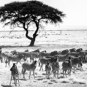 5784-Herd_of_zebras_near_an_acacia_tree_South_Africa_2008_Laurent_Baheux