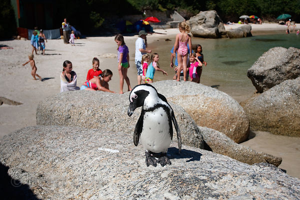 Swimmers and African penguin (Spheniscus demersus), Boulders Beach, South Africa