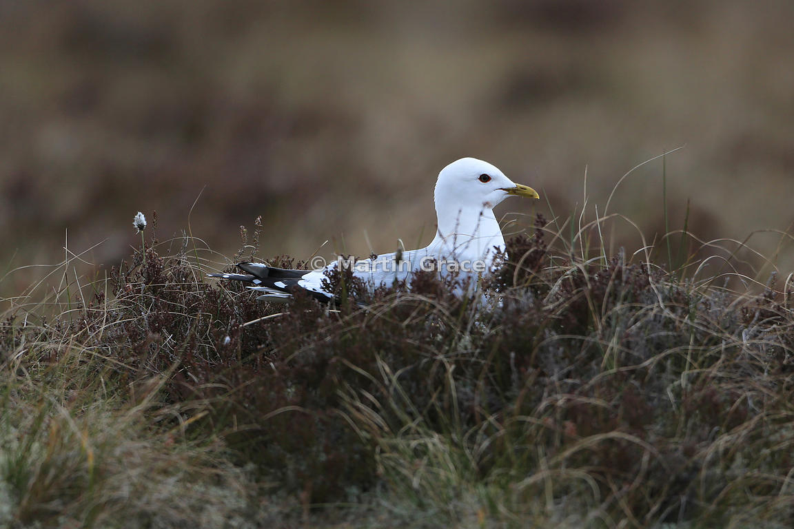Common Gull (Larus canus canus) on nest, Lochindorb, Scottish Highlands