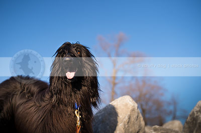pretty longhaired shaggy black dog at rocks under sky