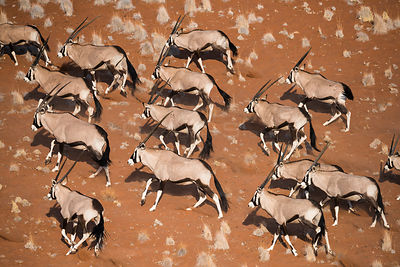 Gemsbok (Oryx gazella) viewed from above, Namib Desert, Namibia.