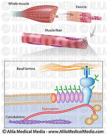 Muscle fiber with dystrophin location