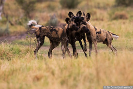 Wild Dog Greeting Ceremony