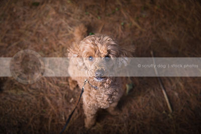 groomed miniature poodle dog staring upward sitting in pine needles