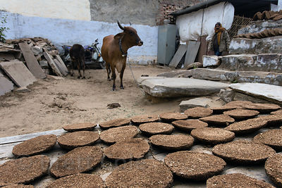 Cow patties being dried to sell for use as fuel for fires, Pushkar, Rajasthan, India