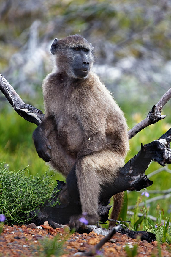 A juvenile chacma baboons sits in a shrub - in a human-like posture - in the fynbos of Smitswinkel Flats, Cape Peninsula, Sou...