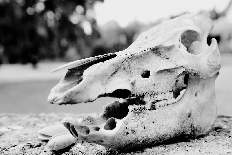 HORSE'S SKULL CUMBERLAND ISLAND GEORGIA BLACK AND WHITE
