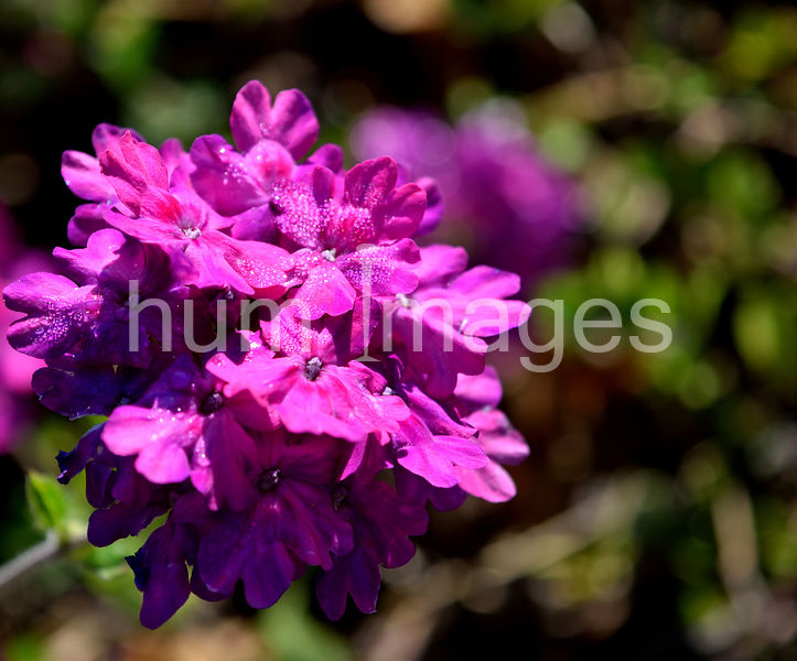 Nature Stock Photos: Tiger Rose