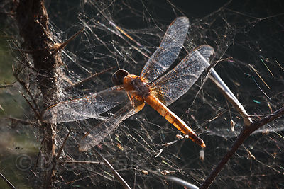 Dragonfly husk in a spiderweb, Keoladeo National Park, Bharatpur, India