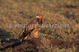 tawny_eagle_ground_02182015-1