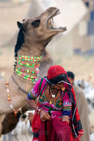 Village woman and screaming camel in Pushkar, Rajasthan, India