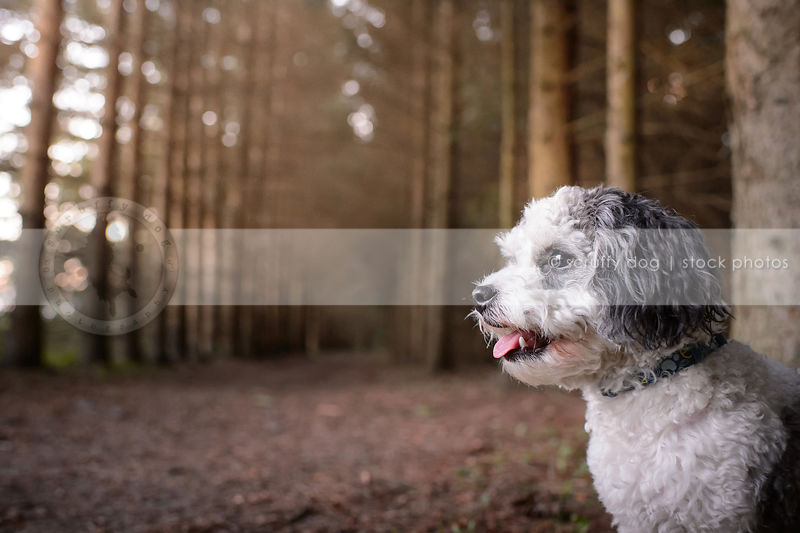 closeup headshot of little grey and white groomed dog in forest