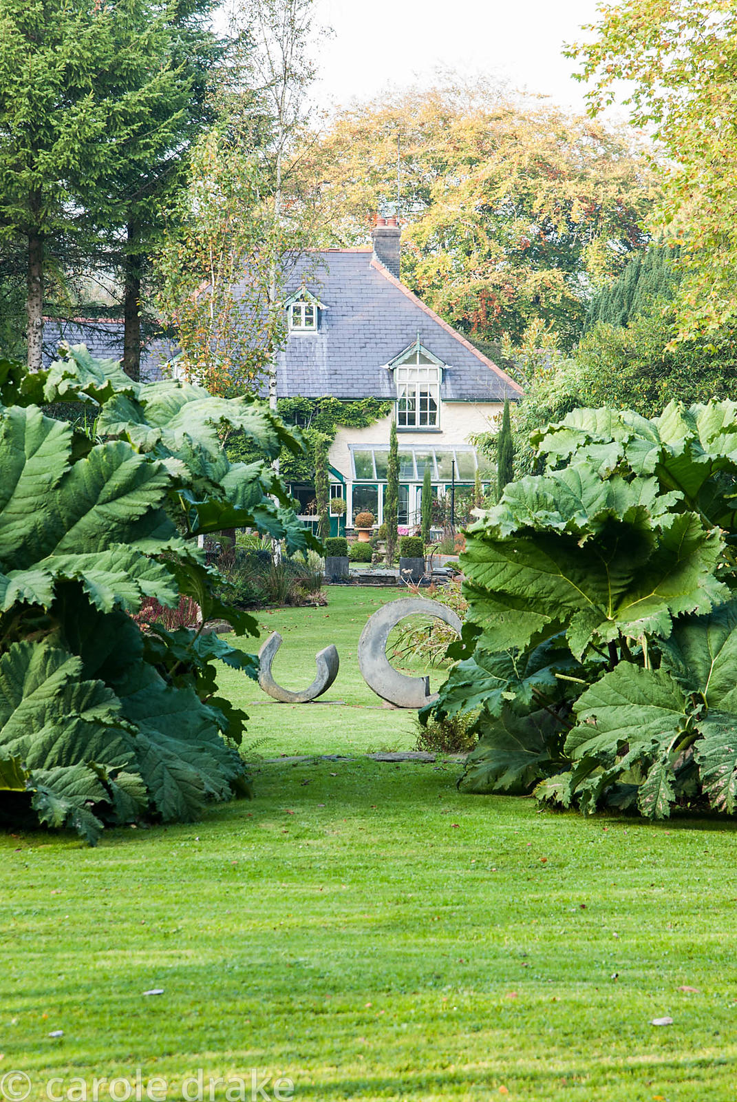 Massive clumps of Gunnera manicata frame a view of the house from the road. The Cors, Laugharne, Camarthenshire, Wales, UK