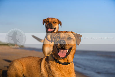 portrait of two mixed breed dogs posing at lake shore under sky
