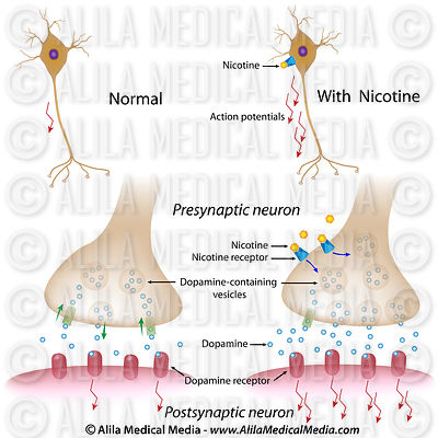 Action of nicotine on dopaminergic synapse.