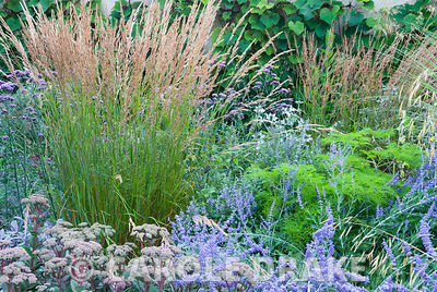 Upright stems of Calamagrostis x acutiflora 'Karl Foerster' surrounded by Sedum telephium 'Matrona', Pervoskia 'Blue Spire', ...