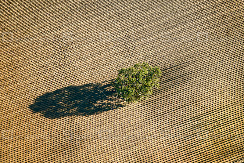 A Lone Oak Tree Guards a Patterned Field.
