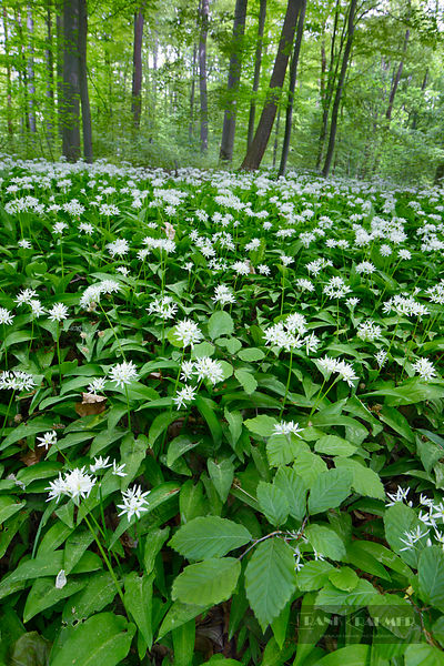 Bear garlic in beech forest (lat. allium ursinum) - Europe, Germany, Lower Saxony, Göttingen (Göttinger Stadtwald) - digital