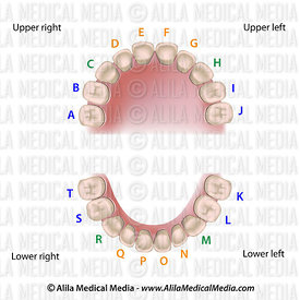 Universal numbering system for notation of baby teeth