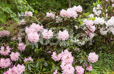 Rhododendron 'Andre', rose