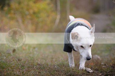 senior white jack russell wearing sweater walking on trail