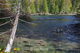 Sockeye and Chinook Salmon along Adams River