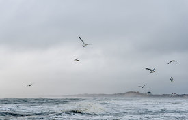 Danish seagulls on the coast 7