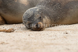 galapagos_sea_lion_santa_fe_sand_face-2