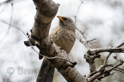 Unidentified brown bird perched on a tree in the desert, Dhani Deomand village, Rajasthan, India (11)