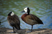 White-faced duck, Dendrocygna viduata, Zimbabwe