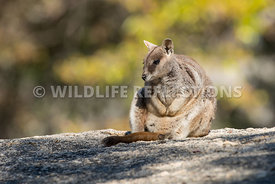 rock_wallaby_mareeba_rock_sit-2